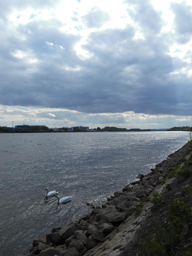 Rhein-Schwäne-Nadia-Baumgart