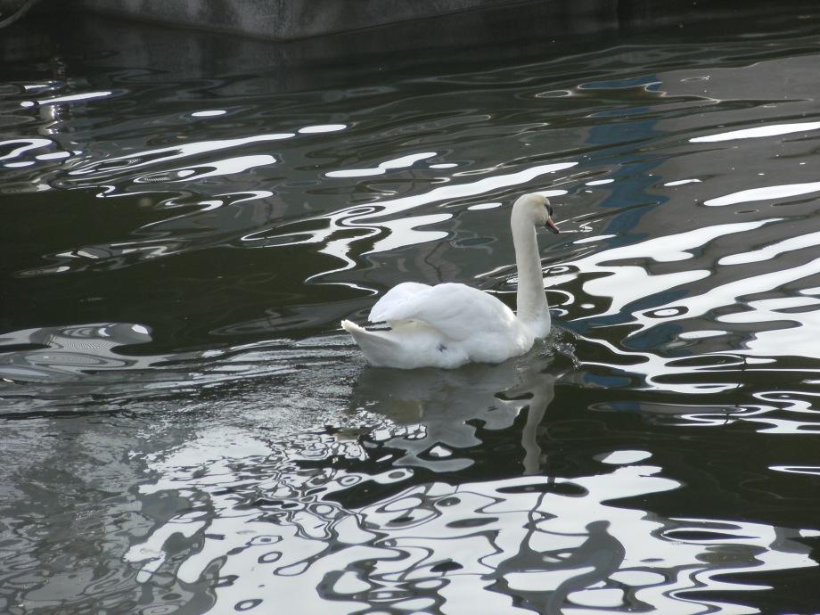 Schwan im Schiersteiner Hafenbecken
