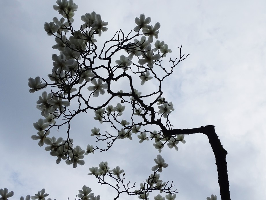 1-Magnolien-Foto-Nadia-Baumgart