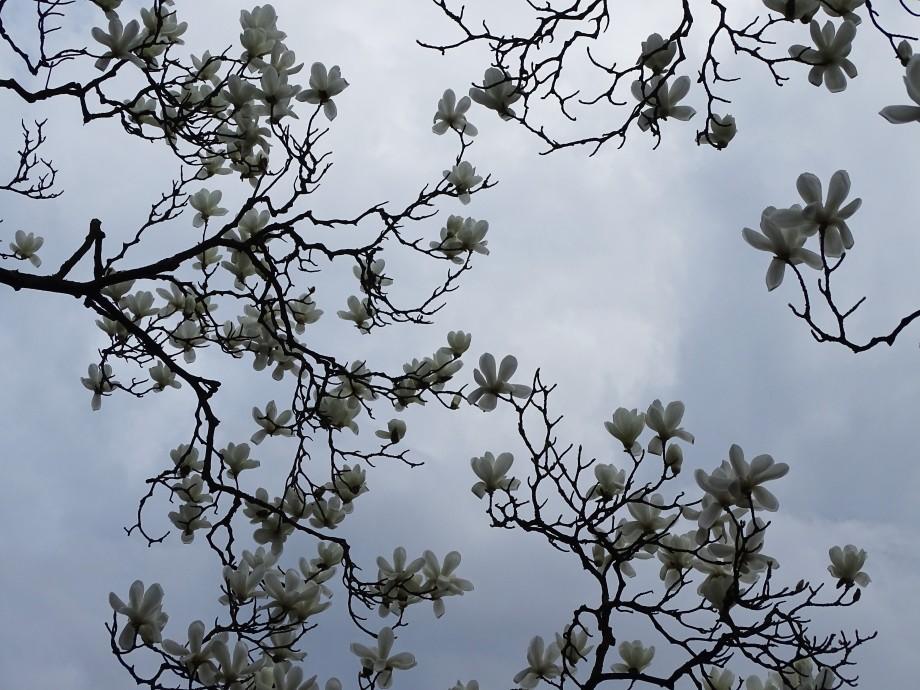 2-Magnolien-Foto-2a-Nadia-Baumgart