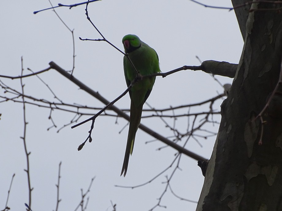 7-Papagei-Wiesbaden-Foto-Nadia-Baumgart