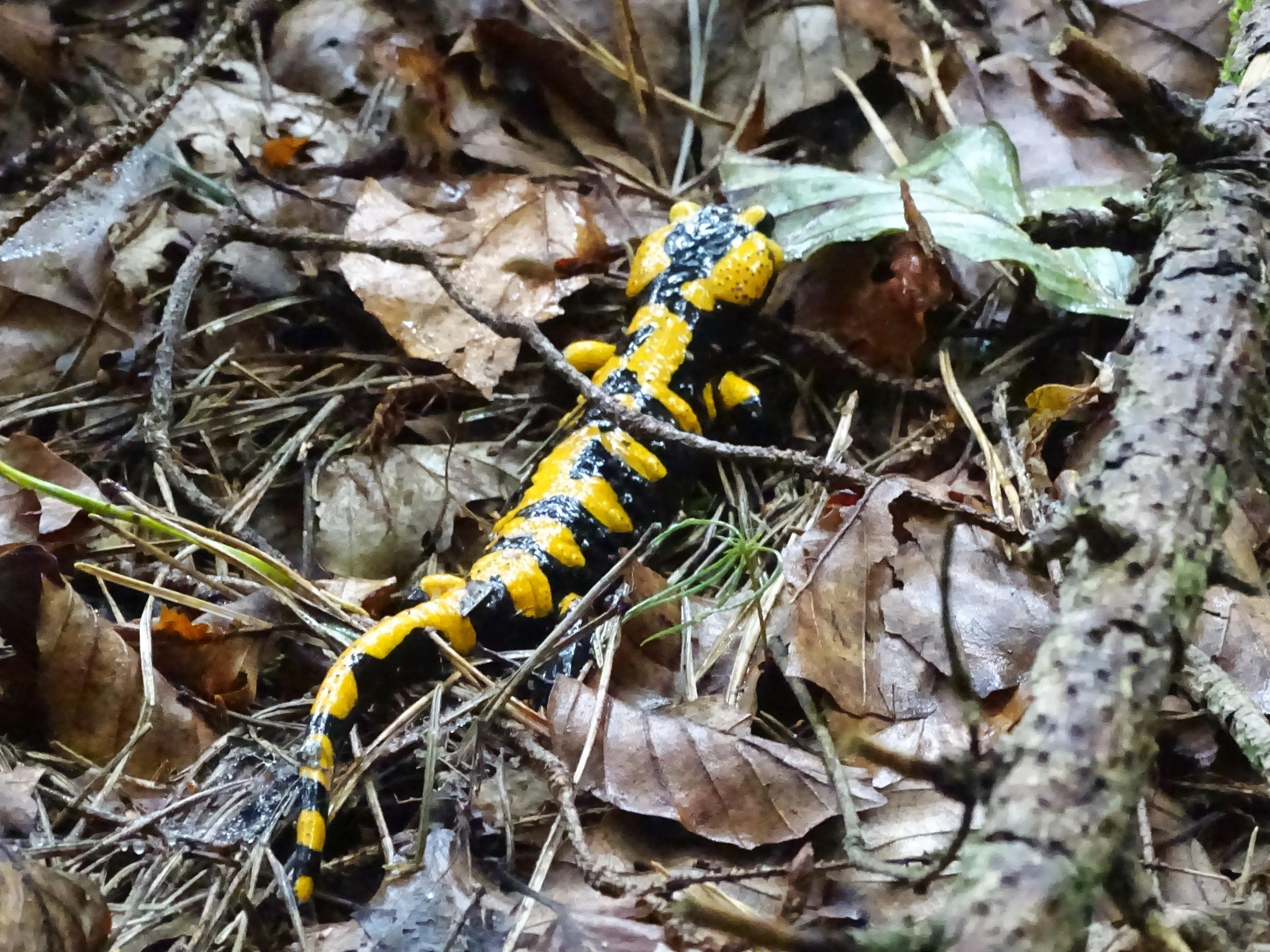 feuersalamander-foto-nadia-baumgart