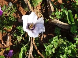 anemone-coronaria-kronen-anemone-2