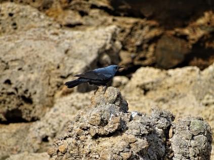 blaumerle-monticola-solitarius-foto-nadia-baumgart-1
