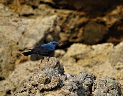 blaumerle-monticola-solitarius-foto-nadia-baumgart-2