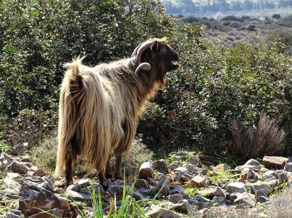 cretan-domestic-goat-hausziege