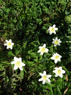 Anemonen - Blumen im Rottal - Bad Birnbach