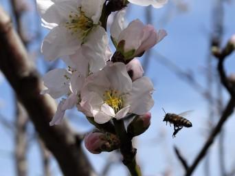 bluehender-pflaumenbaum-kreta-foto-von-nadia-baumgart