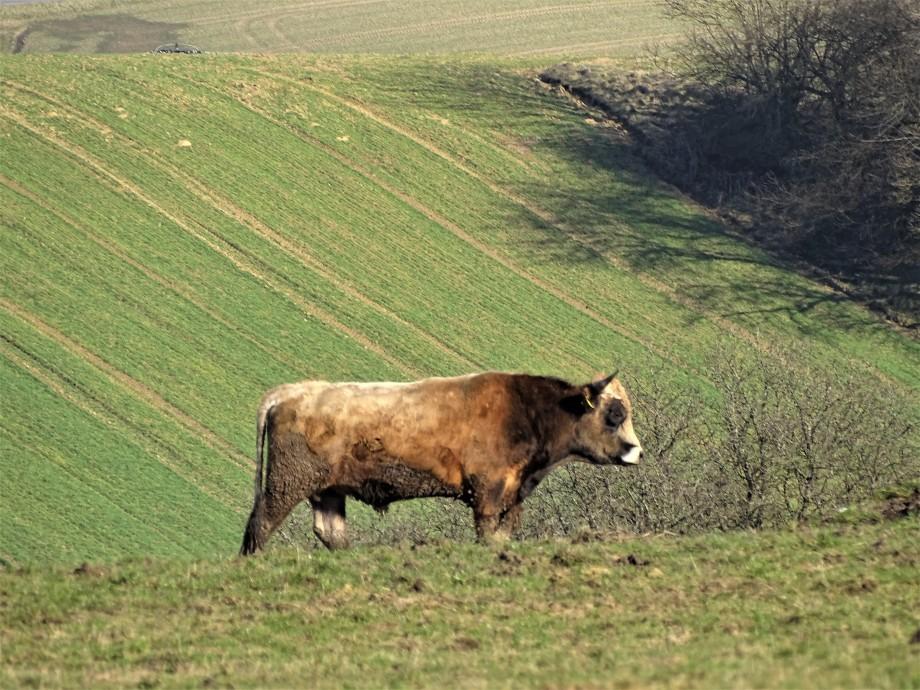 Niederbayern-Bulle-auf-der-Weide-Foto-Nadia-Baumgart