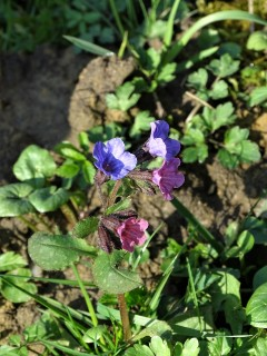 Pulmonaria officinalis - Geflecktes Lungenkraut – Lungwort – Pulmonaire officinale