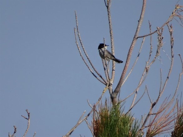 sylvia-melanocephala-sardinian-warbler-samtkopf-grasmucke