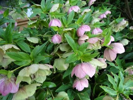Nieswurz - Blumen im Rottal -Bad Birnbach