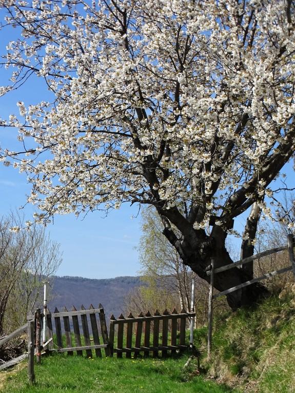 Bluehende-Kirschen-Piemont