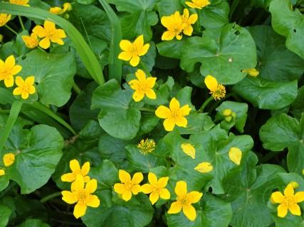 Sumpfdotterblume - Blumen im Rottal - Bad Birnbach - Sumpfdotterblume - Caltha palustris