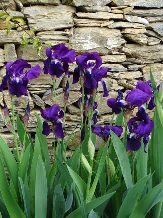 Iris germanica–Iris–Schwertlilie