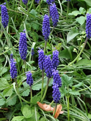 Muscari – Grape hyacinth – Traubenhyazinthen – Muscaris-2