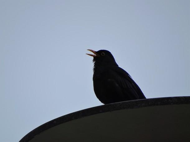 Amsel-Blackbird-Merle