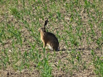 Feldhase-Brown hare-Lièvre