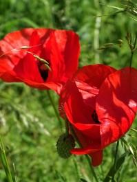 Mohnblume-Field-poppy-Coquelicot