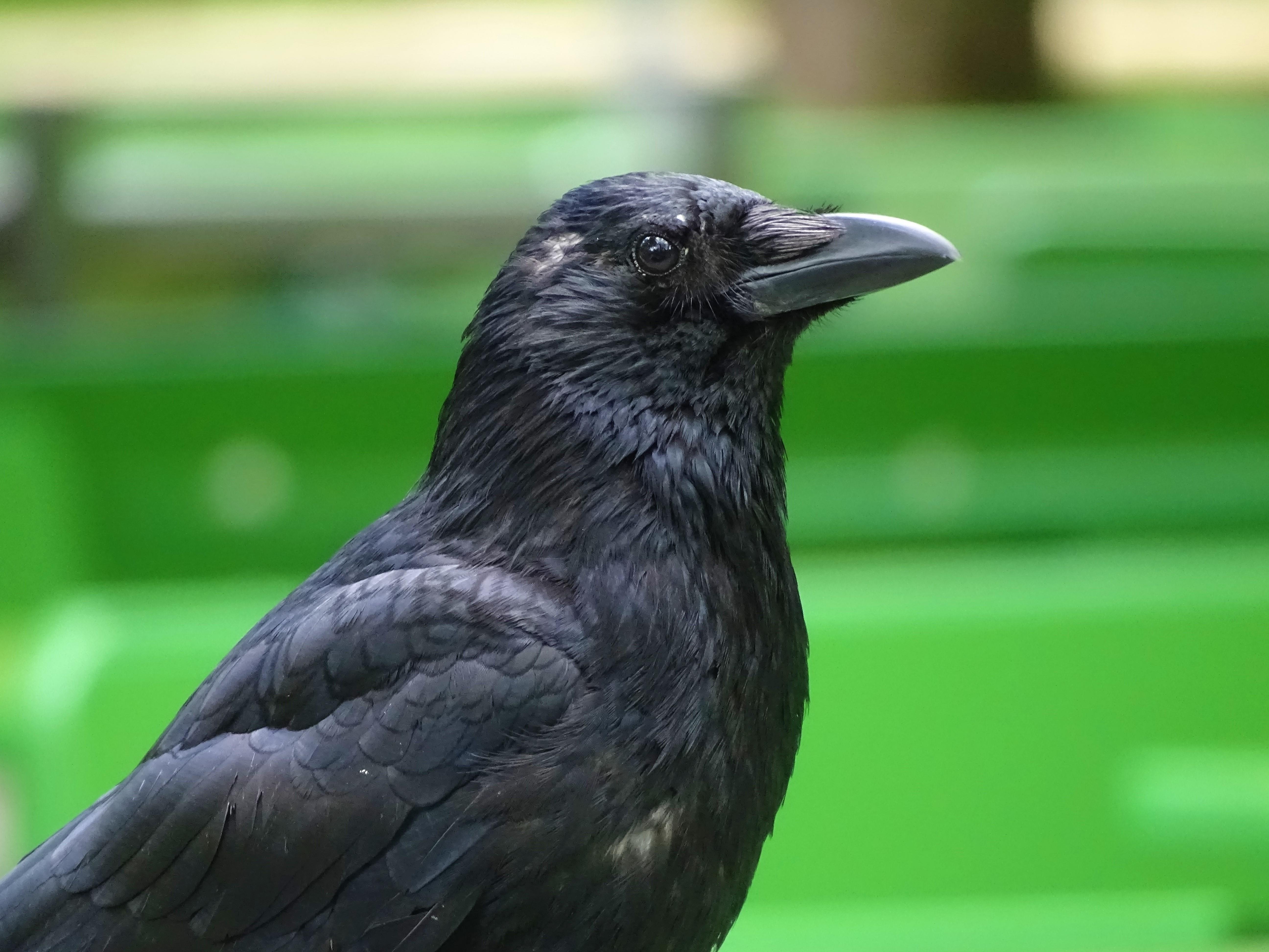 Portrait-of-a-crow-Foto-Nadia-Baumgart