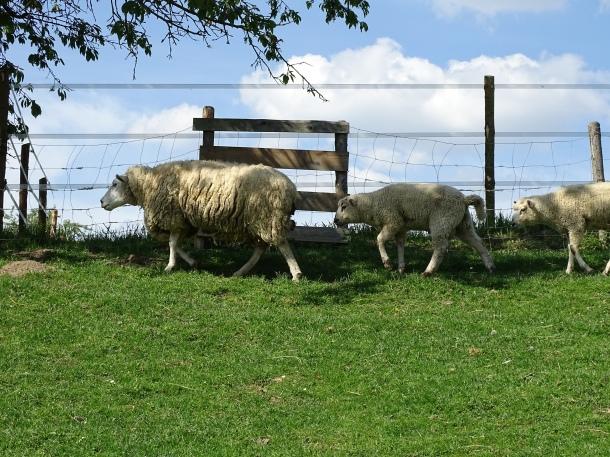 Schafe-im-Rottal-Foto-Nadia-baumgart