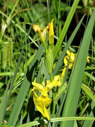 Sumpfschwertlilie-Yellow-Water-Iris