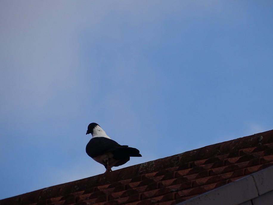 Taube-Pigeon
