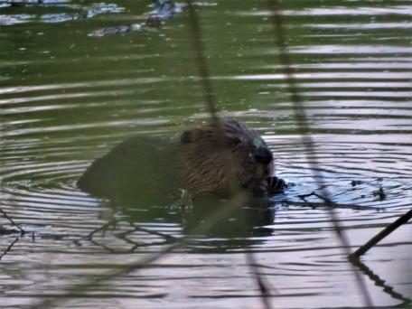 Biber-Beaver-Castor