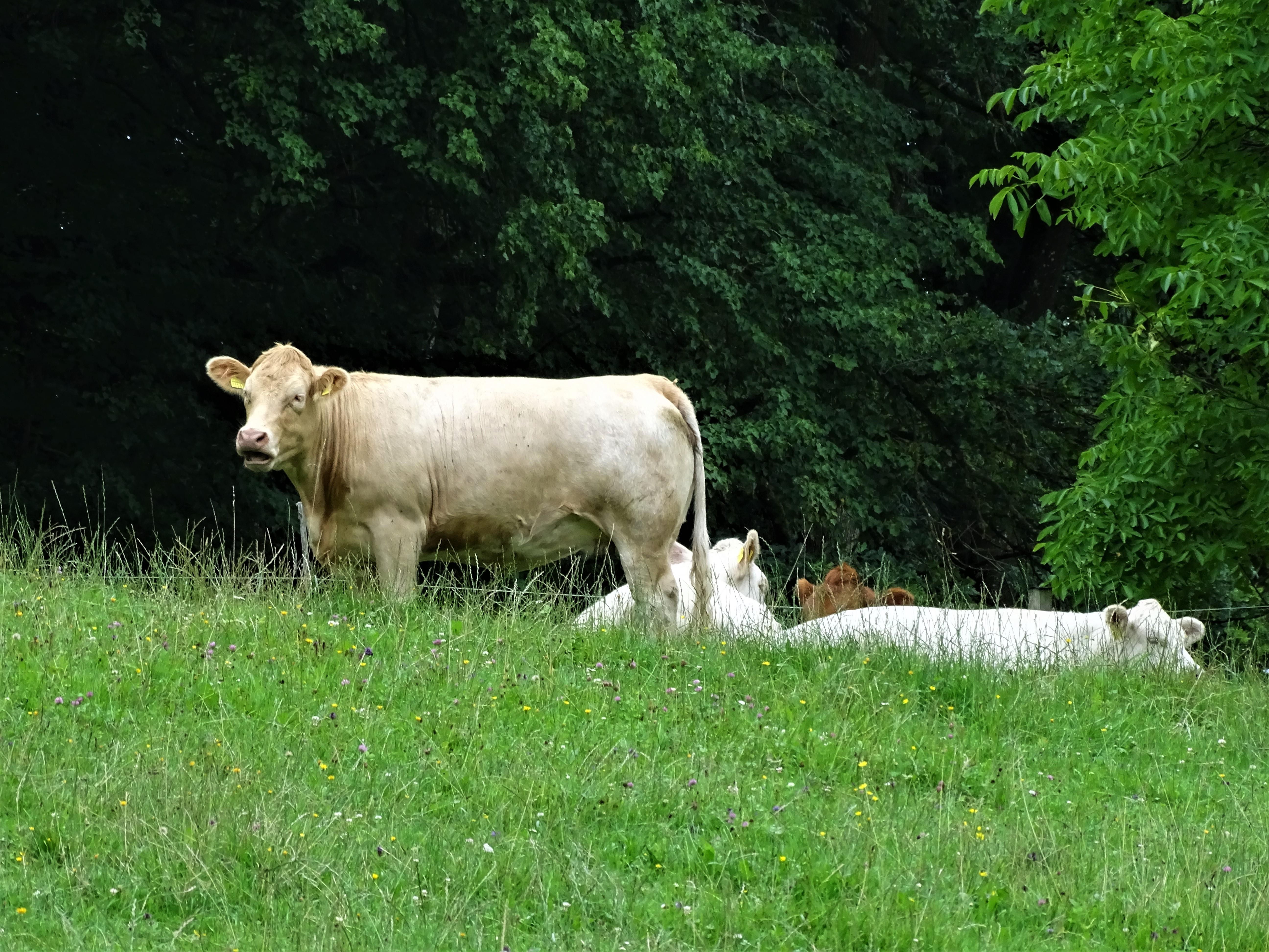 Limousin-Kuehe-Foto-Nadia-Baumgart