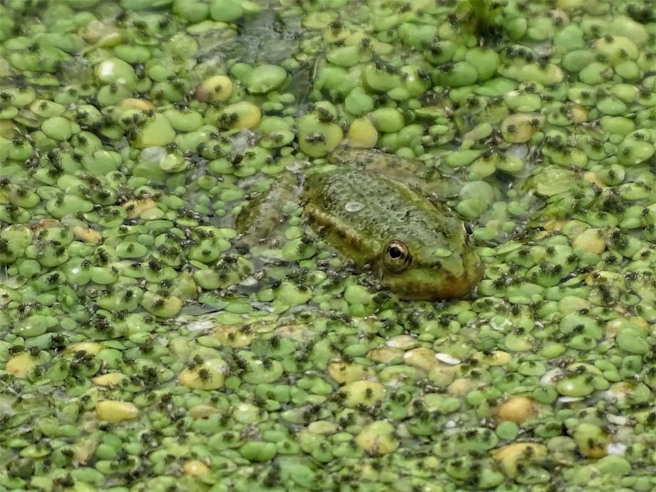 frosch-Foto-Nadia-Baumgart.2