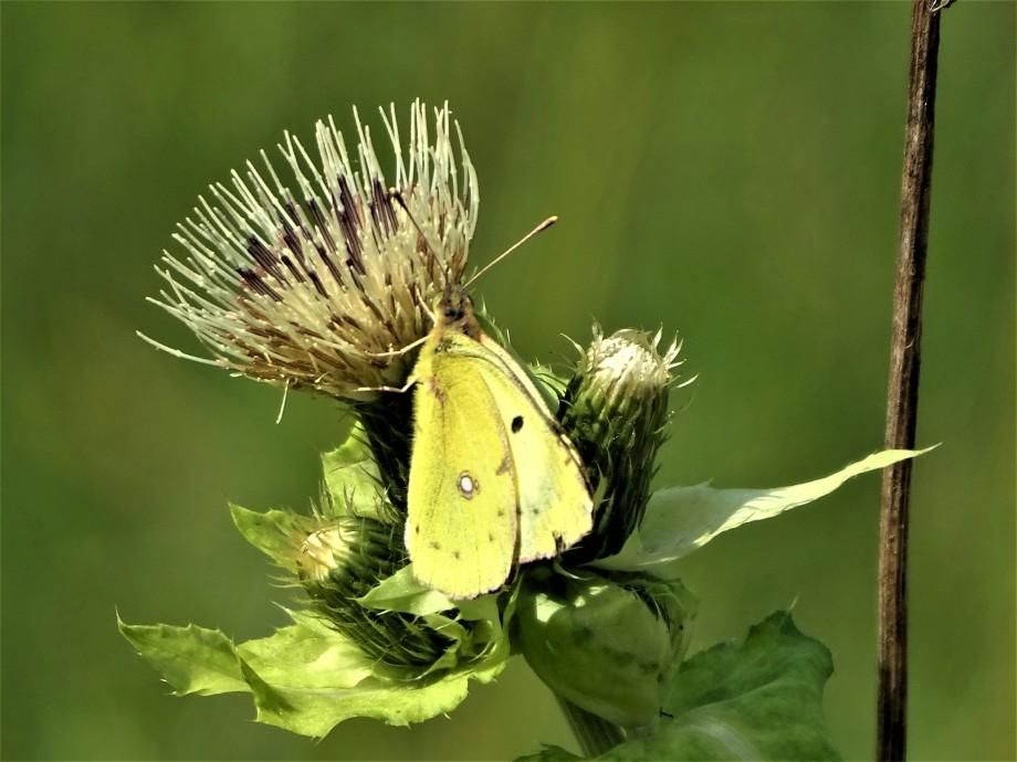 Auf der verblühten Kohlkratzdistel landet ein wunderschöner Schmetterling.