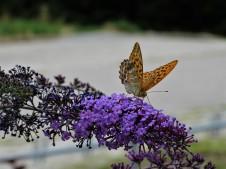 Papillon-photo-Nadia-Baumgart