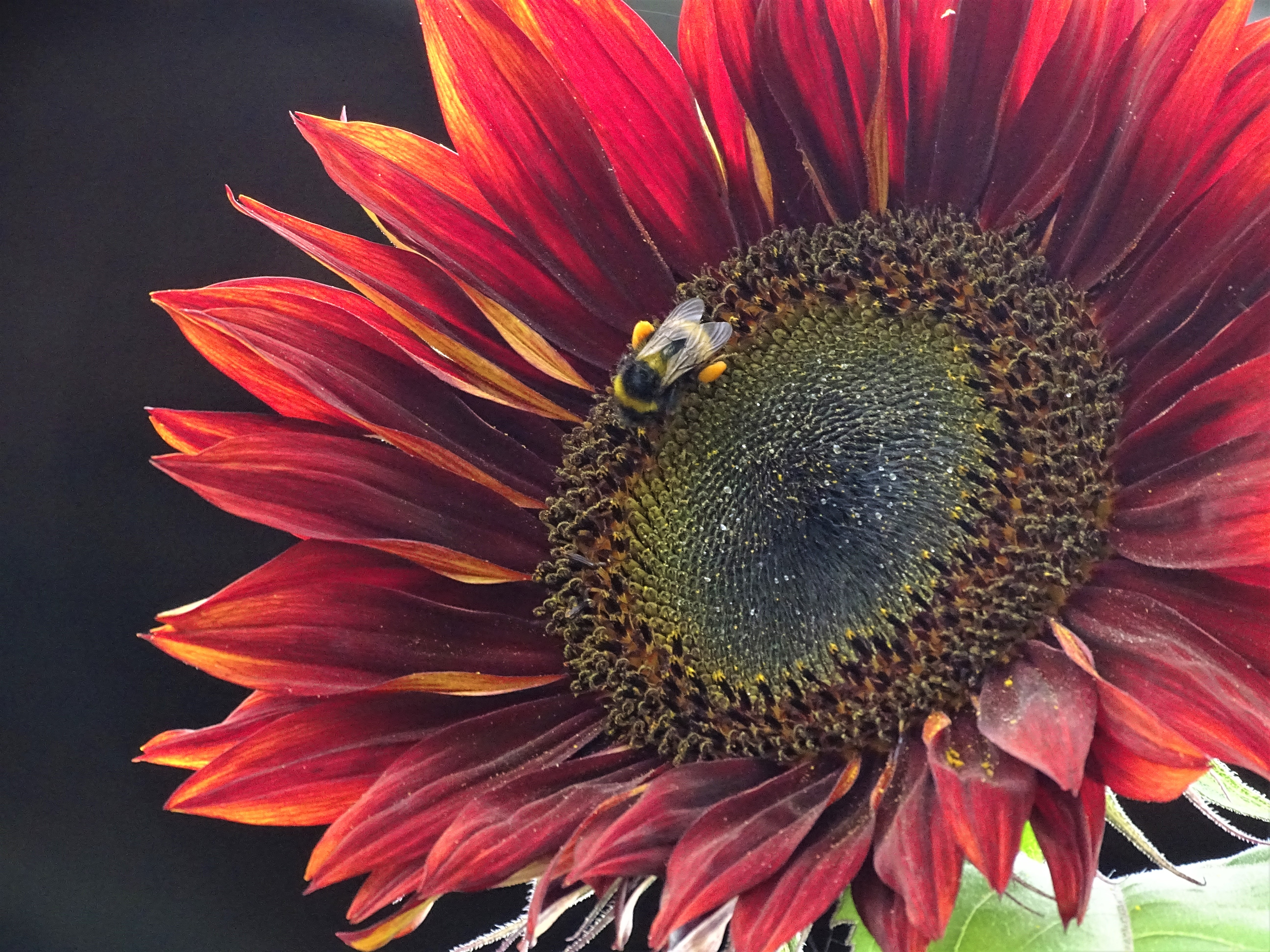 Rote-Sonnenblume-Fotos-Nadia-Baumgart