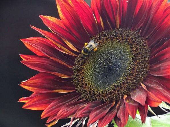 Sonnenblume, Gigglerhof