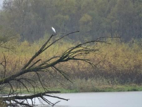 Egretta alba– Silberreiher - great white egret