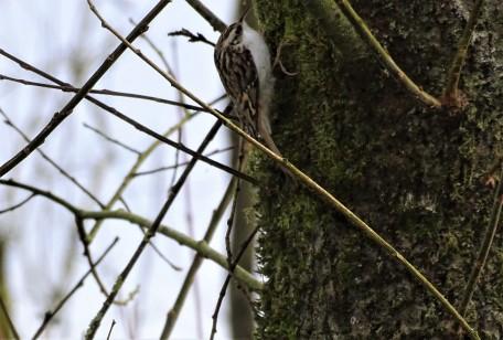 Baumläufer - Tree creeper - Grimpereau
