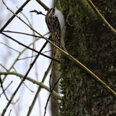 Baumläufer - Tree creeper - Grimpereau