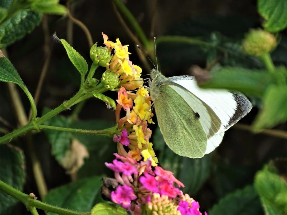 1-Schmetterling-AzorenFoto-Nadia-baumgart