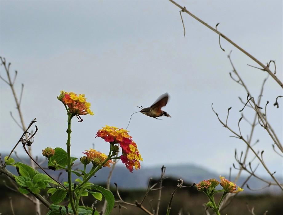 1-Taubenschwaenzchen-Azoren-Foto-Nadia-Baumgart