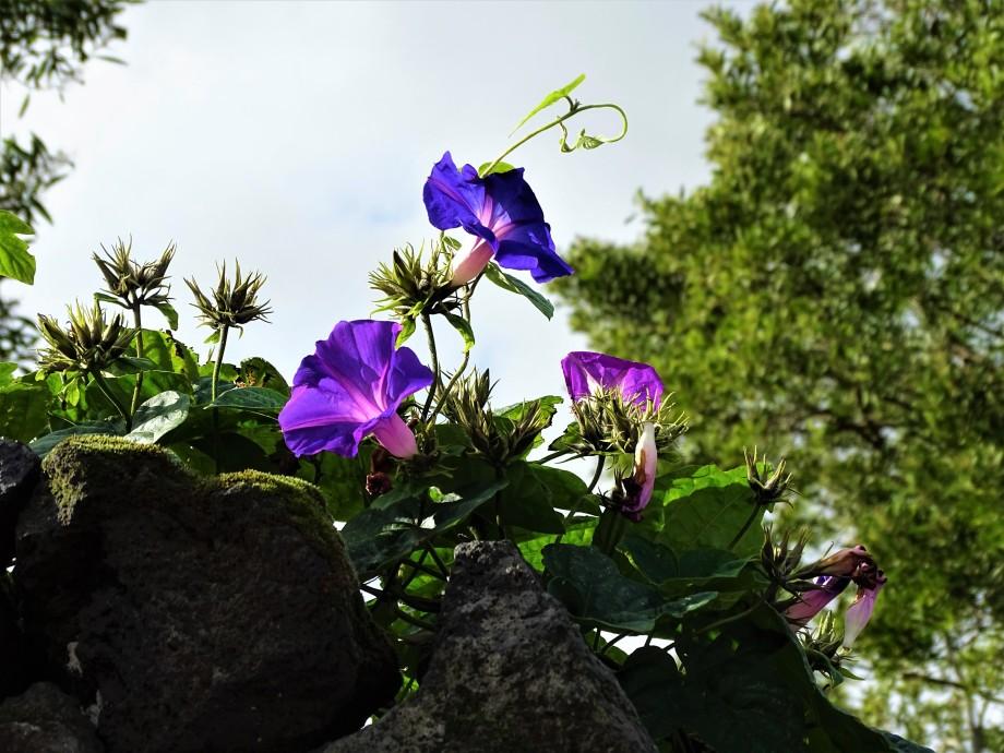 2-Blaue-Prunkwinde-Azoren-Foto-Nadia-Baumgart