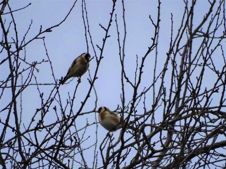 Stieglitz - Goldfinchs - Chardonnerets