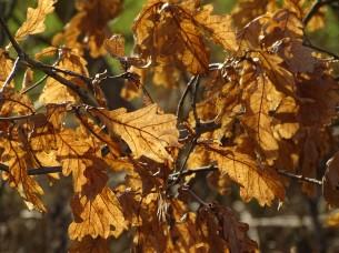3-Eichenblätter-Foto-Nadia-Baumgart