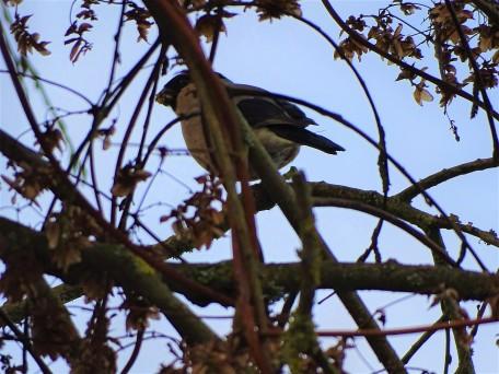 Gimpel - Bullfink