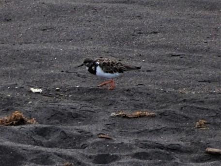 3-Weißbürzel-Strandläufer (Calidris fuscicollis)-Foto-Nadia-Baumgart