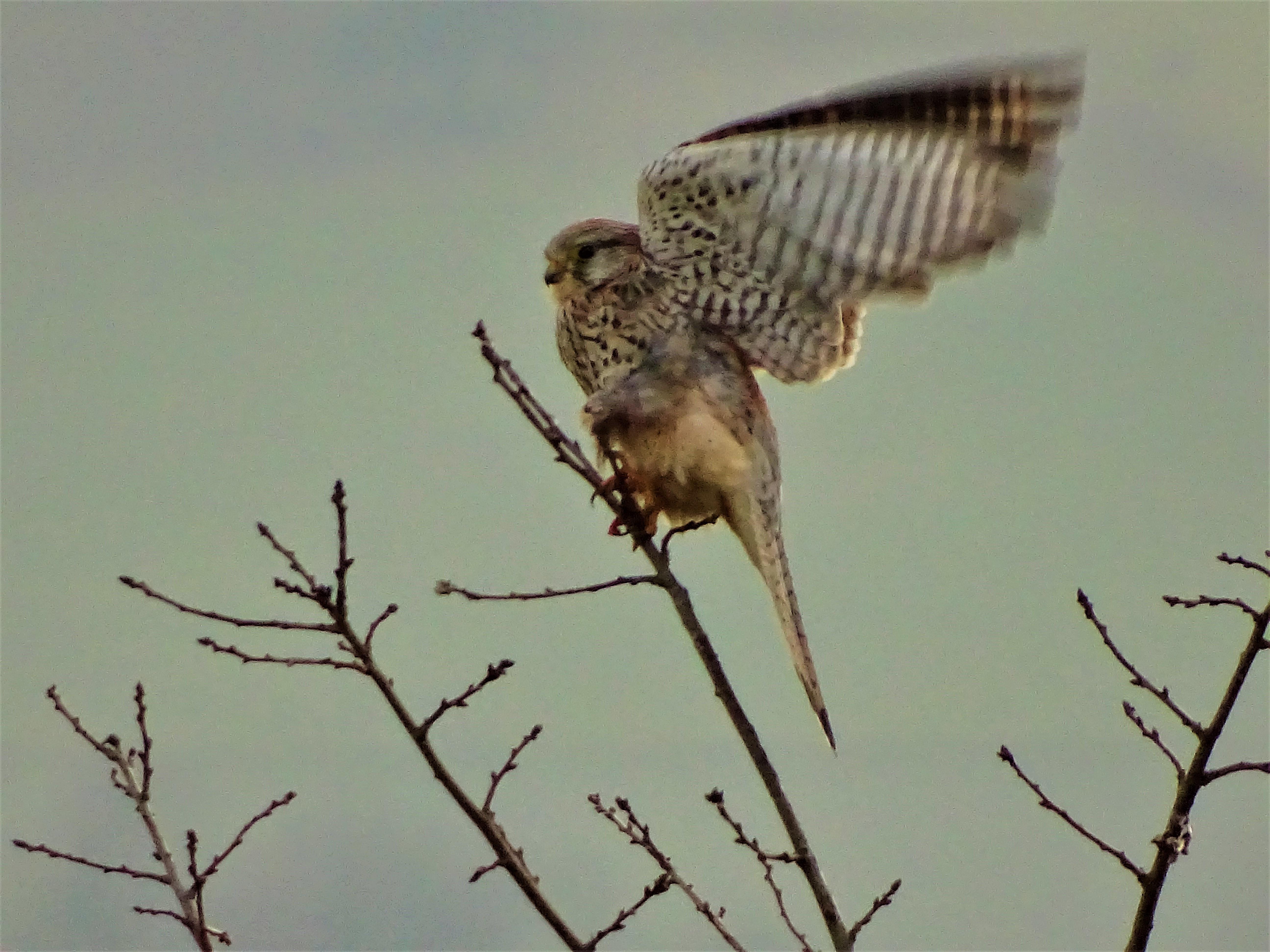 Falke-Foto-Nadia-Baumgart