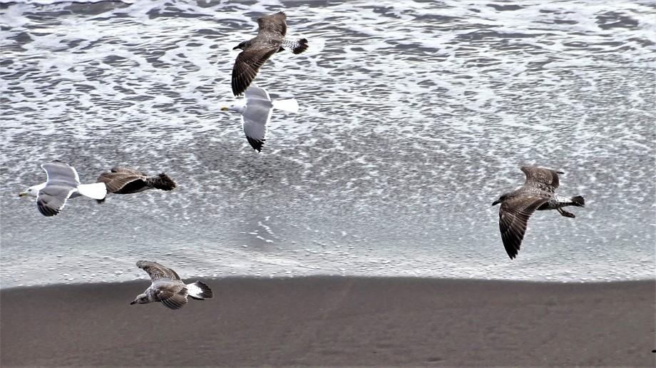 Moewen-Azoren-Foto-Nadia-Baumgart