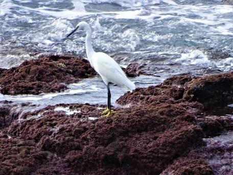 Egretta garzetta – Little Egret - Seidenreiher