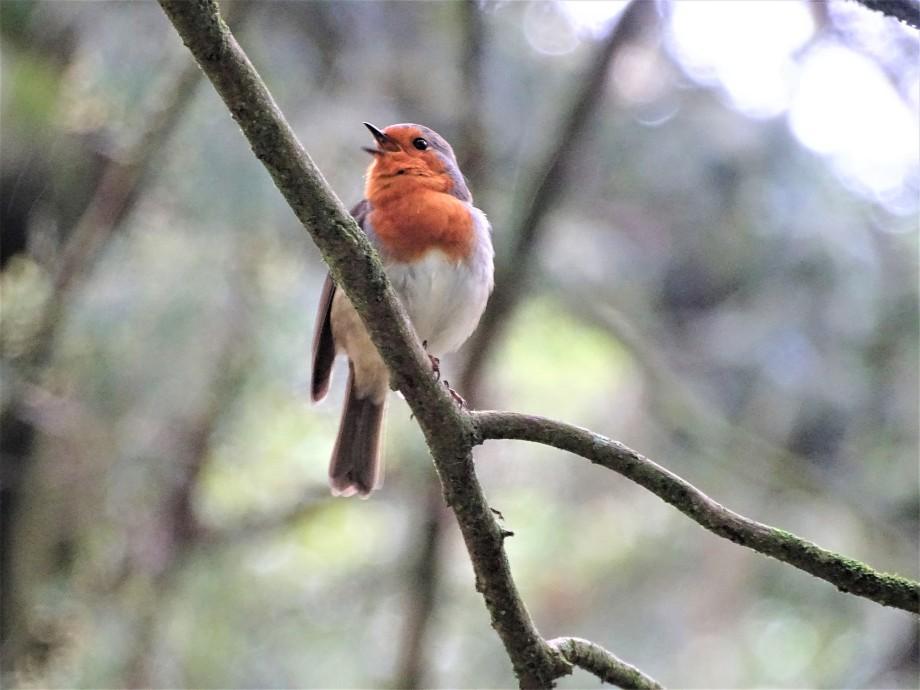 3-Rotkehlchen-Robin-Azoren
