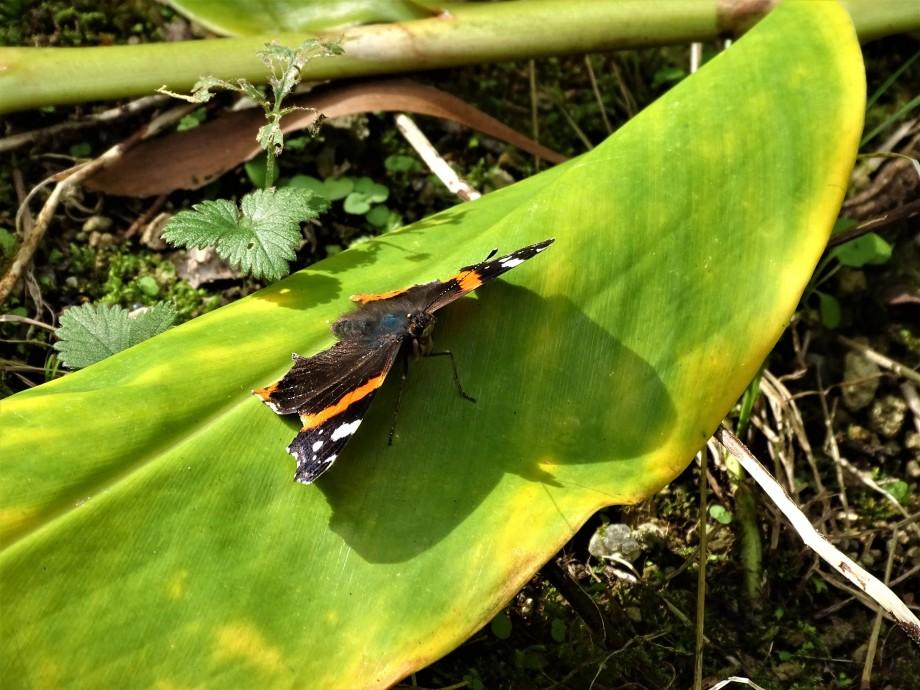 6-Schmetterling-Azoren-Foto-Nadia-Baumgart