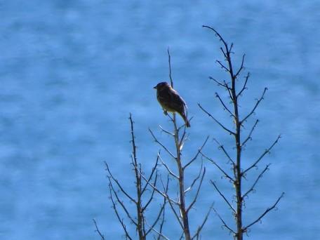 Serinus-Canaria-Atlantic-canary-Kanarengirlitz